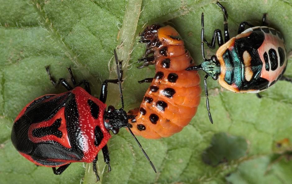 nasekomye-entomofagi-bezopasnoe-i-vygodnoe-reshenie-problemy-vreditelej