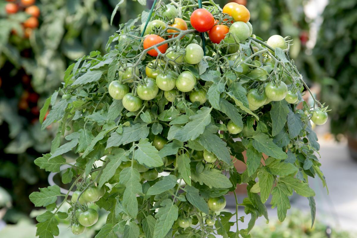 ampelnye-tomaty-foto-opisanie-sortov-lichnyj-opyt-vyrashhivaniya-1