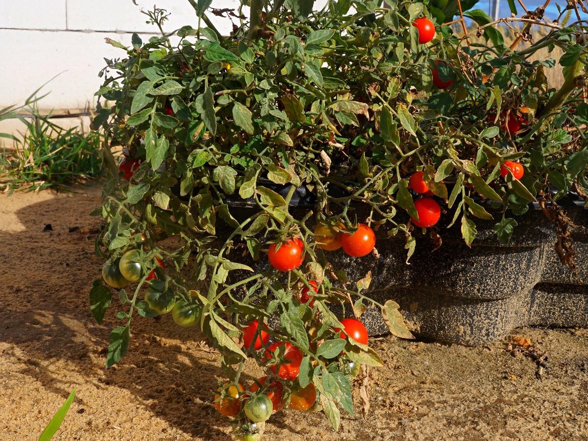 ampelnye-tomaty-foto-opisanie-sortov-lichnyj-opyt-vyrashhivaniya-7