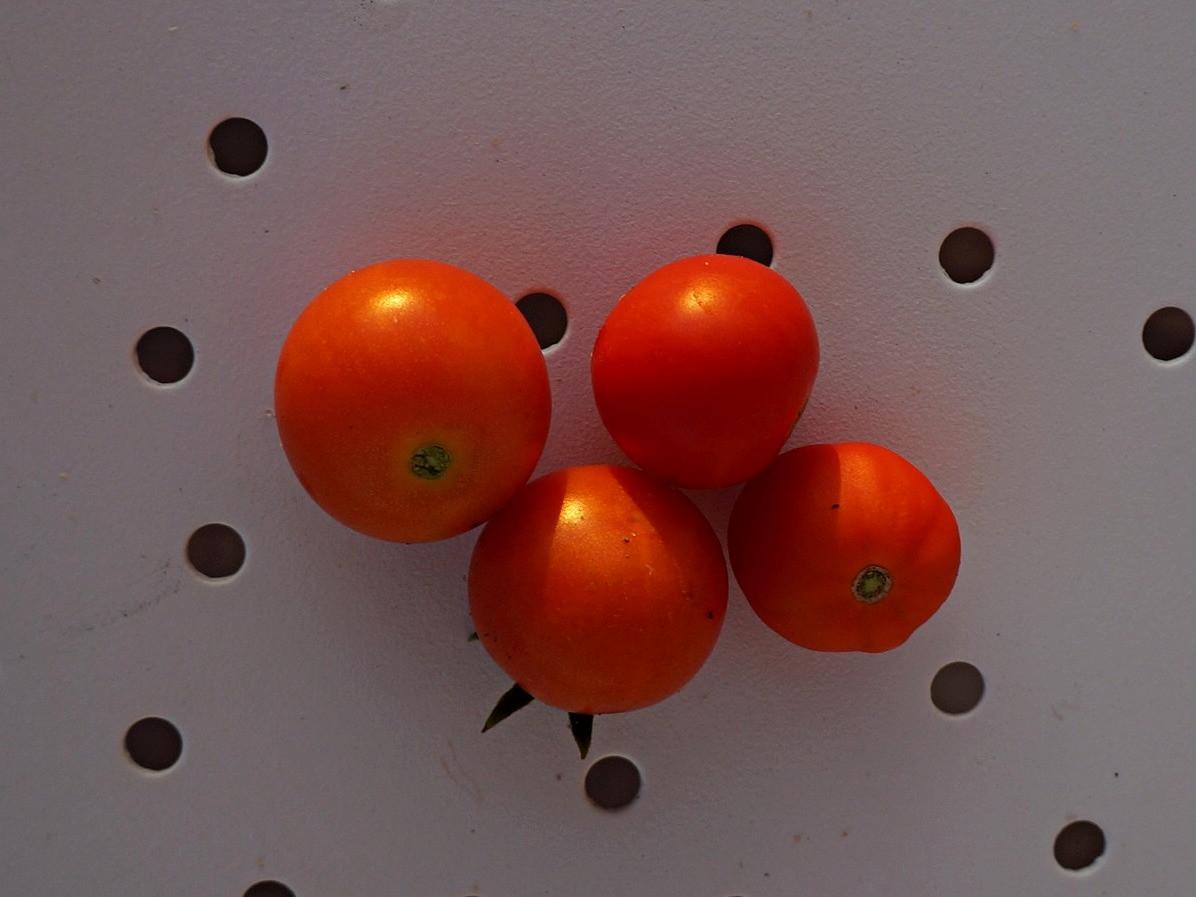 ampelnye-tomaty-foto-opisanie-sortov-lichnyj-opyt-vyrashhivaniya-6
