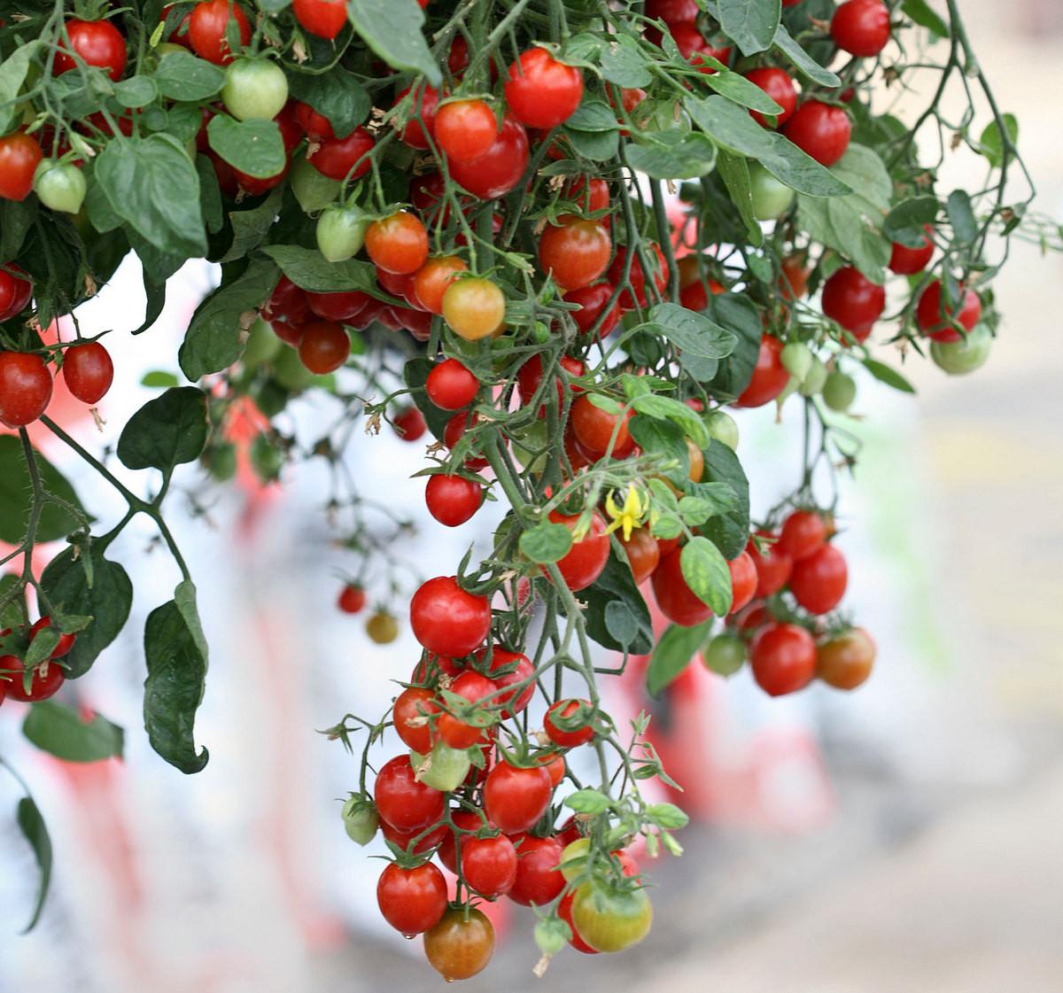 ampelnye-tomaty-foto-opisanie-sortov-lichnyj-opyt-vyrashhivaniya-4