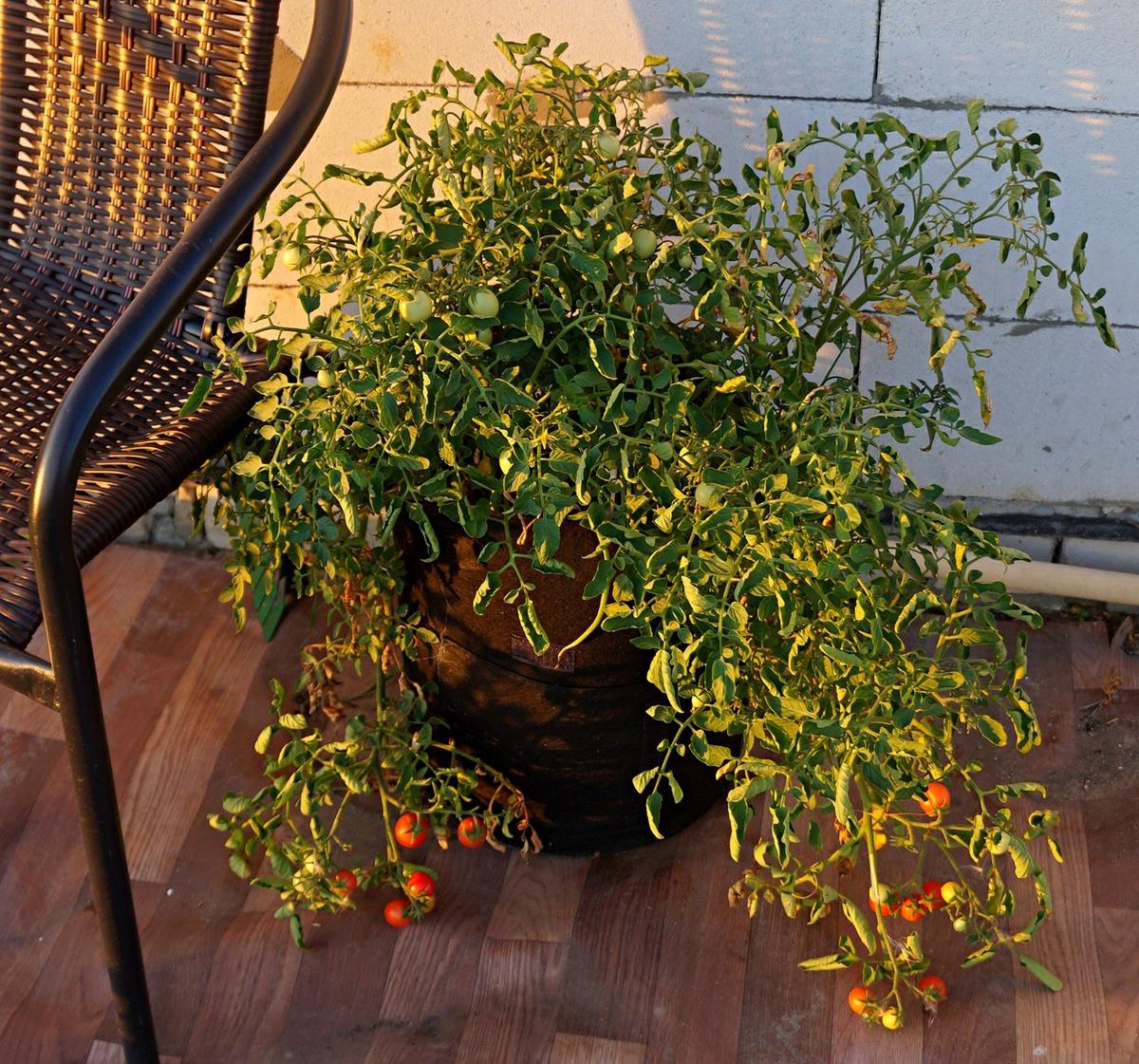 ampelnye-tomaty-foto-opisanie-sortov-lichnyj-opyt-vyrashhivaniya-5