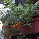 Ампельные томаты: фото, описание сортов, личный опыт выращивания
