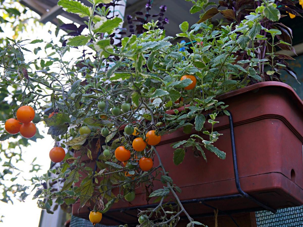 ampelnye-tomaty-foto-opisanie-sortov-lichnyj-opyt-vyrashhivaniya-3