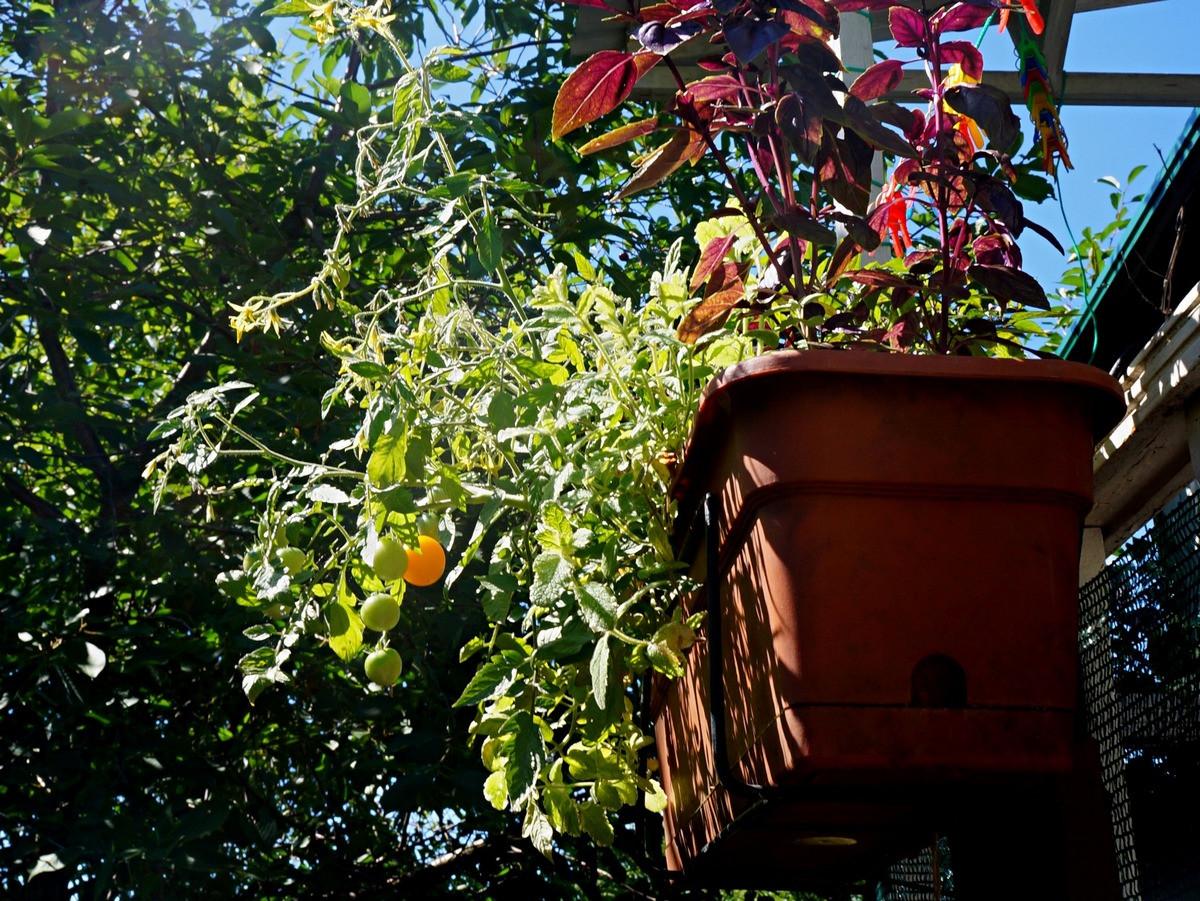 ampelnye-tomaty-foto-opisanie-sortov-lichnyj-opyt-vyrashhivaniya-8
