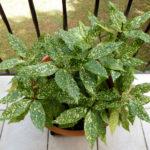 Аукуба: фото, описание, виды, условия для выращивания, уход в домашних условиях