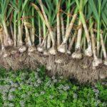 Как вырастить чеснок: технология выращивания озимого, ярового, бульбочек