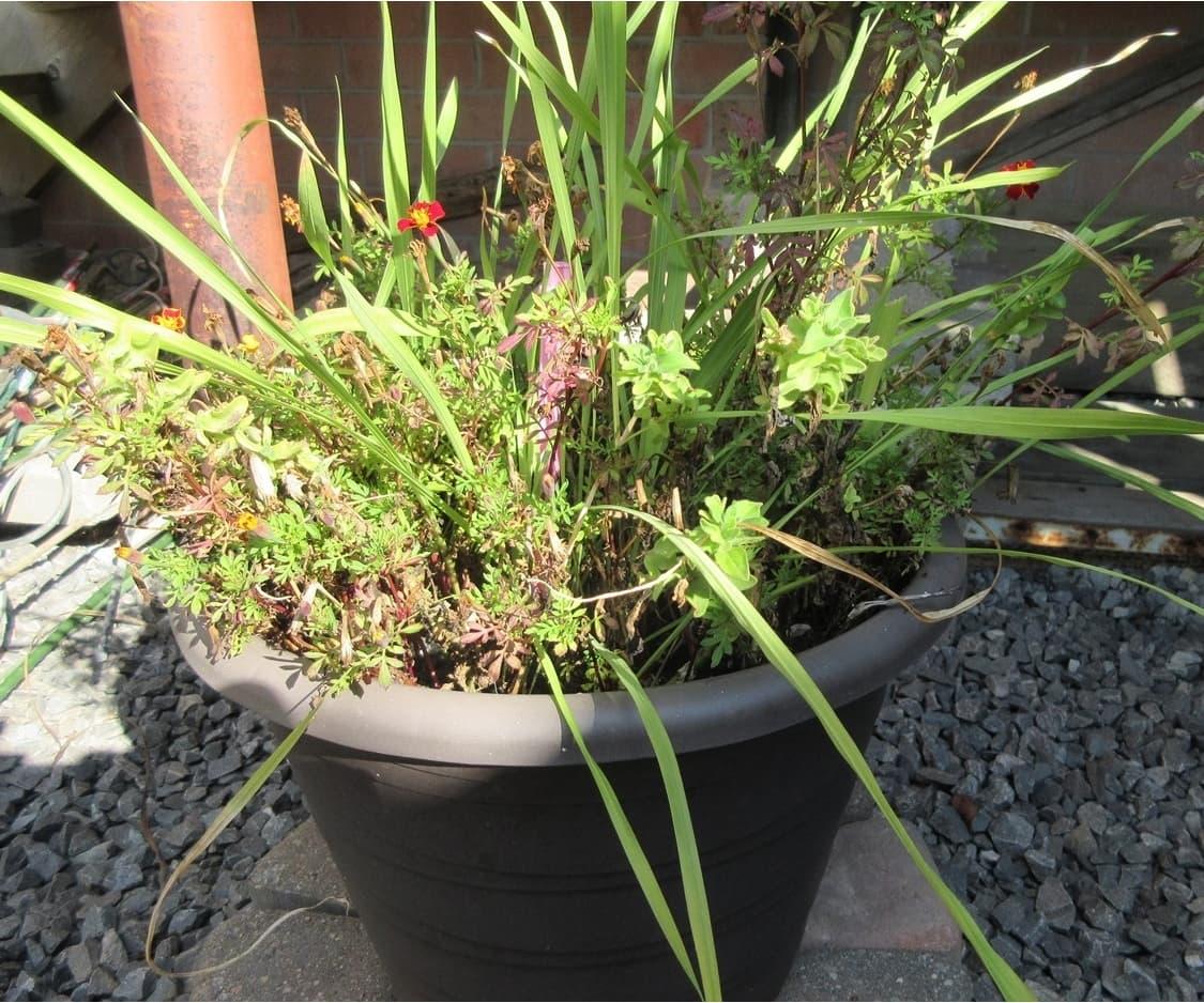 kak-hranit-gladiolusy-kogda-vykapyvat-klubnelukovitsy-gladiolusa-7