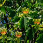 Тюльпановое дерево: фото, описание, особенности посадки и ухода за лироном
