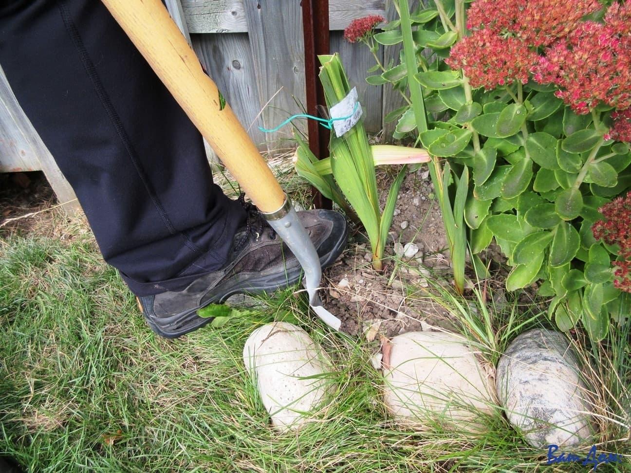 kak-hranit-gladiolusy-kogda-vykapyvat-klubnelukovitsy-gladiolusa-2