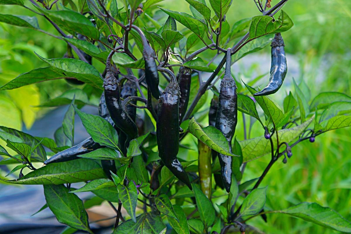 perets-chili-neostrye-sorta-foto-opisanie-lichnyj-opyt-vyrashhivaniya