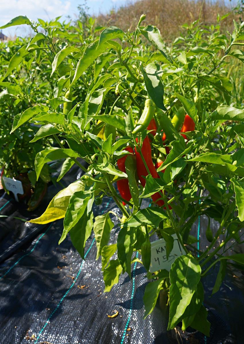 perets-chili-neostrye-sorta-foto-opisanie-lichnyj-opyt-vyrashhivaniya-7