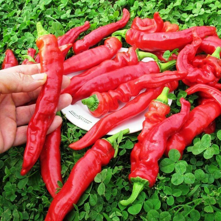 perets-chili-neostrye-sorta-foto-opisanie-lichnyj-opyt-vyrashhivaniya-11